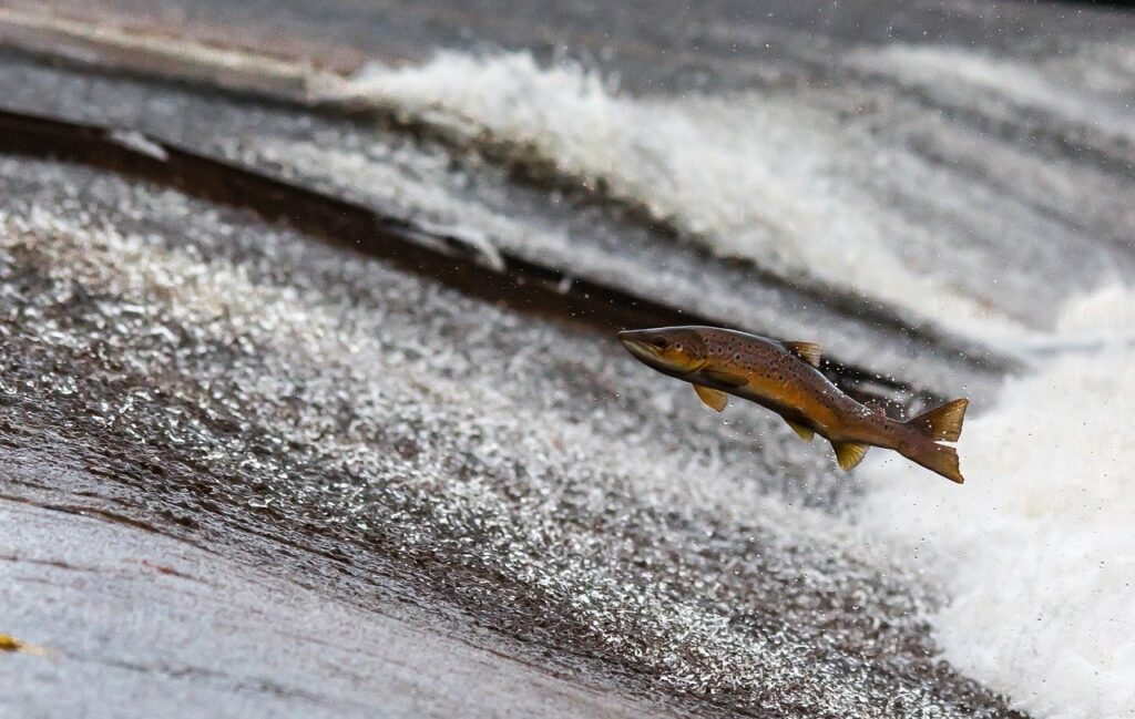 salmon, fish, jump
